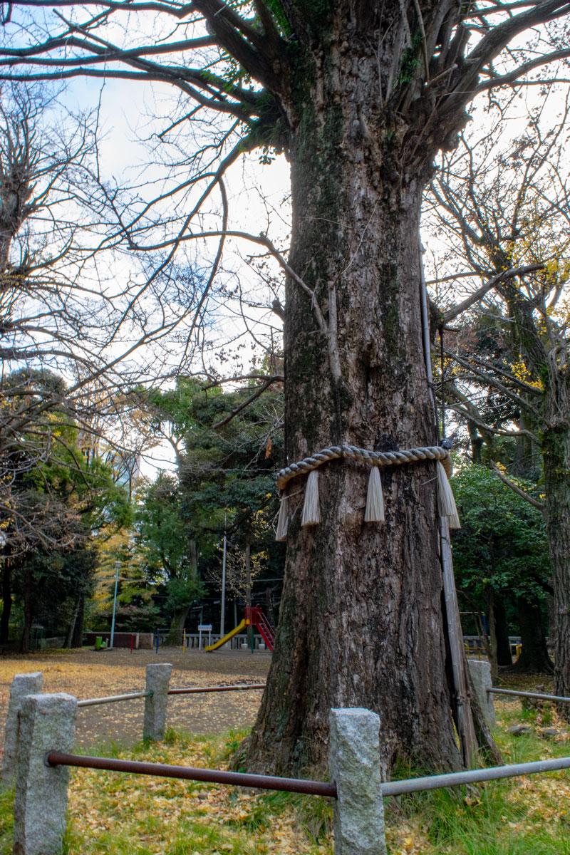 赤坂氷川神社の御神木