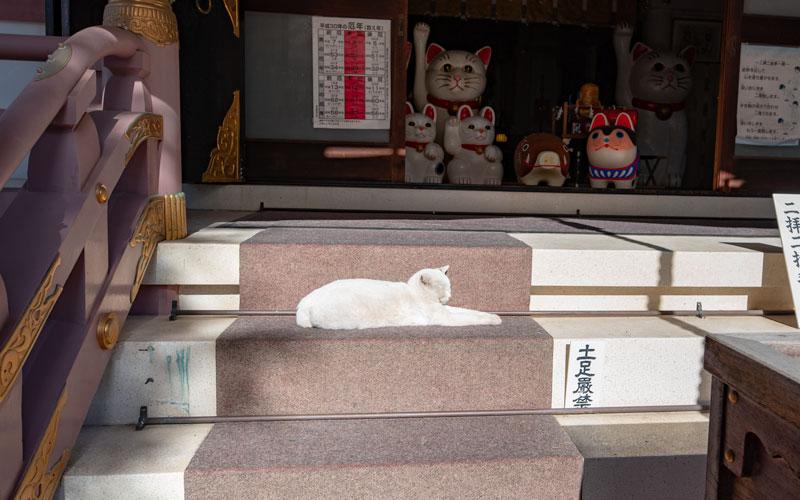 今戸神社の白猫