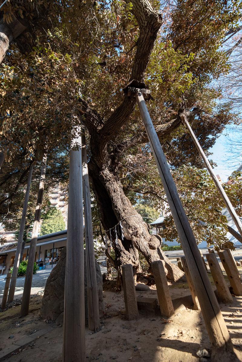 金王八幡宮の御神木