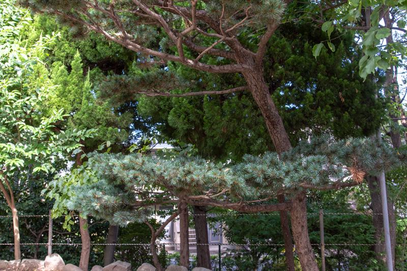 松ヶ丘北野神社 松の木