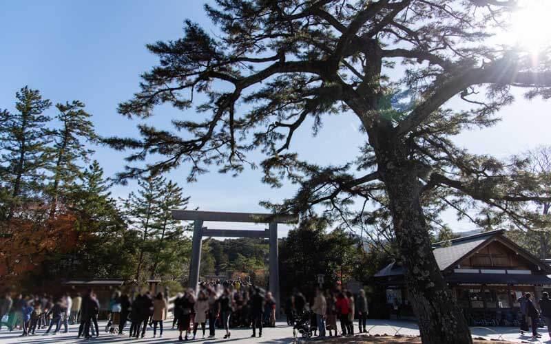 饗土橋姫神社 宇治橋前の松の木