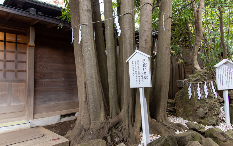 検見川神社 子授けの樫