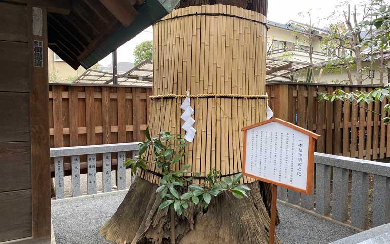 七社神社 一本杉